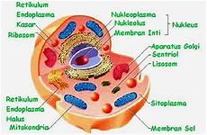 Sel Prokariota Sel Tumbuhan Sel Hewan Untuk Kelas Vii