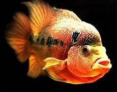 Teknik Pemeliharaan Ikan Louhan Kopas Dunia Agro