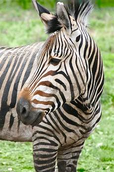 zebra bild zebra stock bild colourbox
