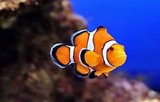 Apa Yang Anda Ketahui Tentang Ikan Nemo Atau Ikan Badut
