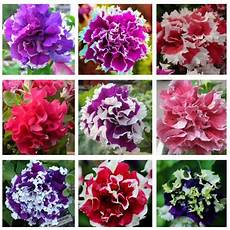 Aliexpress Buy 100pcs Bag Hanging Petunia Seeds