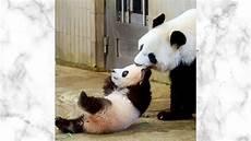 28 Gambar Panda Lucu Dan Keren Rudi Gambar
