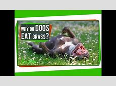 or why dogs sometimes chew grass