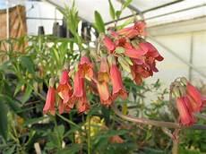 brutblatt heilpflanze bx82 casaramonaacademy