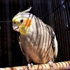 pappagallo in gabbia pappagallo in una gabbia fotografia stock immagine di