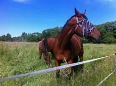hannoveraner wallach in saarland oberthal gro 223 pferde