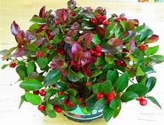 pflanze mit roten beeren gaultheria procumbens scheinbeere rote teppichbeere