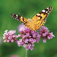 Eisenkraut Schmetterlinge Pflanzen Blumen Garten