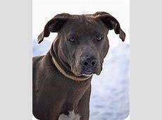 Lincoln   Adopted Dog   Mora, MN   Weimaraner/Rhodesian