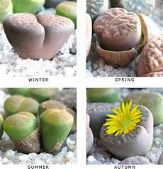 lebende steine arten live rock living succulent landscaping