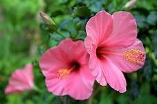 fiore flowers best hibiscus flower stock photos pictures royalty free
