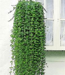 elpflanzen und hängepflanzen garten duftender indian mint h 228 ngepflanzen h 228 ngepflanzen