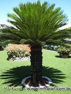 palmeira cica revoluta mudas palmeira palmeira cica revoluta palmeira cica sag
