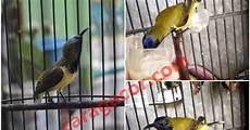 Cara Merawat Burung Opior Paruh Tebal Agar Cepat Gacor