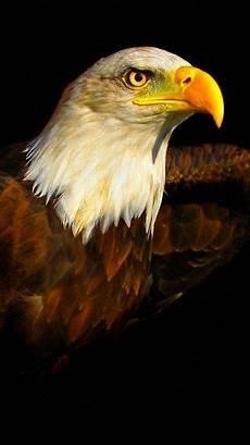 bald eagle iphone wallpaper bald eagle wallpaper 183 wallpapertag