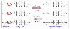 lipids structure functions a level biology revision notes