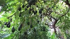 L Avocatier Culture Semis Plantation Taille