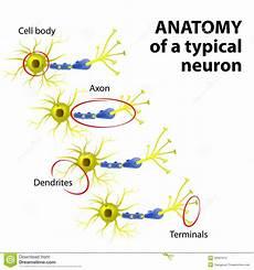 Anatomi Av En Typisk Neuron Vektor Illustrationer
