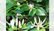 16 Mitos Bunga Kantil Yang Menyeramkan Nilai Tradisi