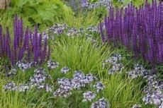 und stauden kombinieren sesleria autumnalis kombiniert mit salvia nemorosa und