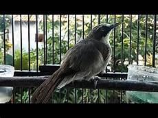 Suara Opior Gacor Untuk Masteran Burung Murai Batu Kacer