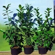 Kirschlorbeer Pflanzen Kaufen - 150 stuck prunus herbergii heckenpflanze immergr 252 n und