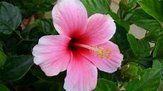 fiori in inglese hibiscus flowers wallpaper 2048x1152 51657