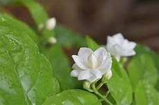 Gambar Bunga Melati Putih Kartun Koleksi Gambar Bunga