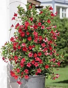 kuebelpflanzen fuer terrasse dipladenien k 252 belpflanzen pflanzen und schlingpflanzen