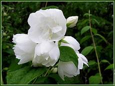 arbuste à fleurs blanches odorantes arbuste petites fleurs blanches odorantes