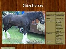 Ausmalbilder Pferde Shire Das Hier Sind Die Sanften Riesen Shire Horses Pferde