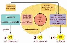 8 1 essential ideas 8 1 2 cell respiration