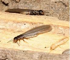 Termite Animal Wildlife