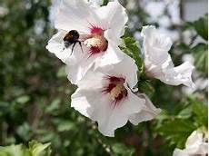 hibiskus richtig schneiden