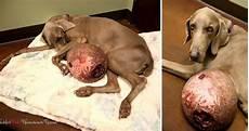 Un Chien Avec Une Tumeur De 6kg Sauv 233 In Extremis De L