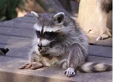 Kleine Haustiere Liste - kleiner waschb 228 r foto bild natur raubtiere
