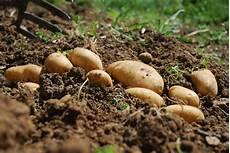 kartoffeln pflanzen im august kartoffeln ernten