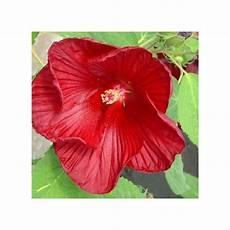 Hibiscus Moscheutos Plantes Et Jardins