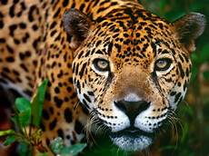 Jaguar Picture animal free wallpapers animal jaguar free wallpapers