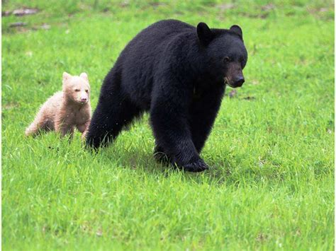 Unusual White Bear Cub Spotted In Whistler