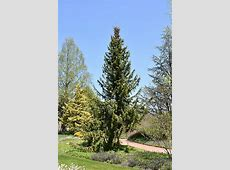 Serbian Spruce (Picea omorika) in Inver Grove Heights