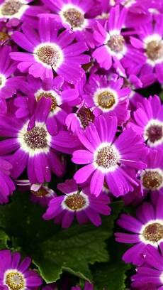 free flower wallpaper phone hd flower iphone wallpapers pixelstalk net