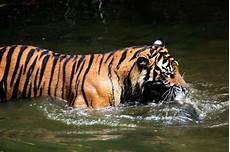 Paling Keren 30 Gambar Harimau Hitam Putih Keren