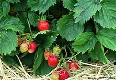 erdbeeren pflanzen der beste zeitpunkt und pflegetipps