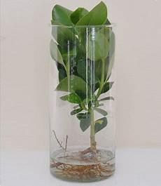 clusia mit glasgef 228 223 1 pflanze g 252 nstig kaufen