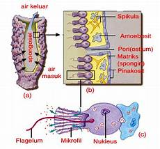 Belajar Terus Biologi Filum Porifera