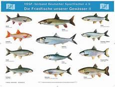 fischarten liste mit bildern postersatz der heimischen fische 5 poster dafv shop