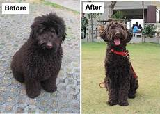 black labradoodle haircuts 1000 images about labradoodle haircut on pinterest labradoodles poodles and australian