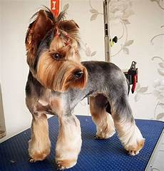 yorkie haircuts pictures summer cuts best yorkie haircuts for females 20 pictures page 4 the paws