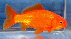 Gambar Ikan Warna Orange Gambar Ikan Hd